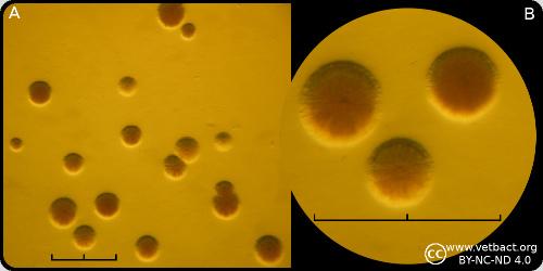 Mycoplasma hyorhinis.